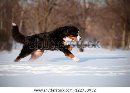 bernese mountain dog running in the snow - stock photo