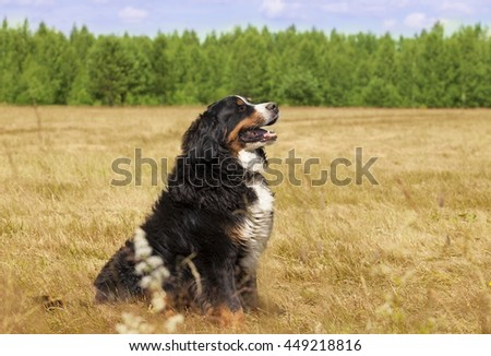 Bernese Mountain Dog sitting in the middle of a green lawn on a sunny summer day - stock photo