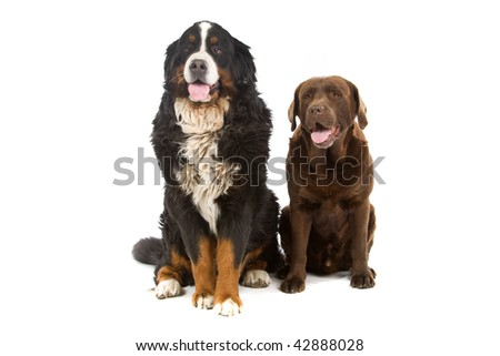 Bernese mountain dog sitting or Berner Sennen and a chocolate labrador, isolated on white background