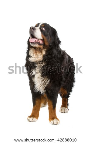 Bernese mountain dog sitting or Berner Sennen, isolated on white background - stock photo