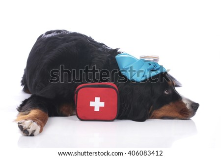 Bernese mountain dog with first aid kit and cool pack - stock photo