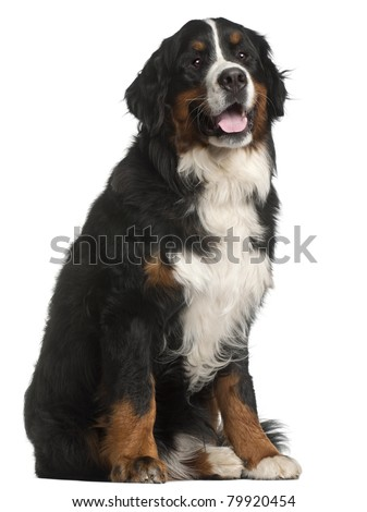 Bernese Mountain Dog, 1 year old, sitting in front of white background - stock photo