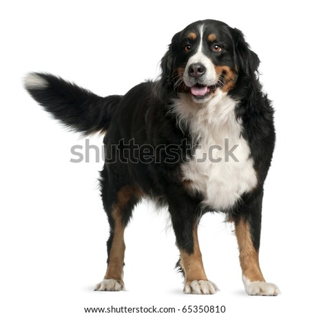 Bernese mountain dog, 4 years old, standing in front of white background - stock photo