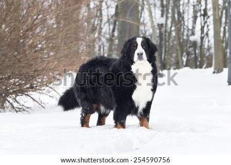 Bernese Mountain Dogs  in snow.  - stock photo