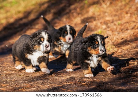 Bernese mountain puppies running in the park - stock photo