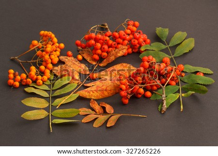 Berries and autumn leaves of rowan