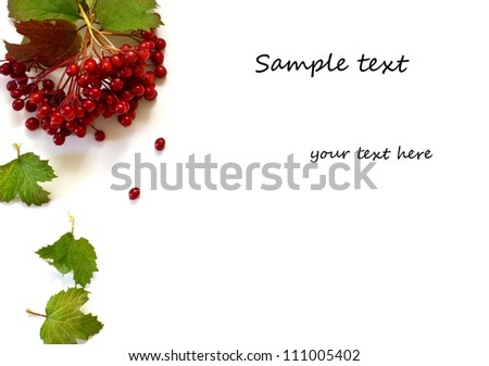 Berries  and leaves of red viburnum isolated on white background. With copy space - stock photo