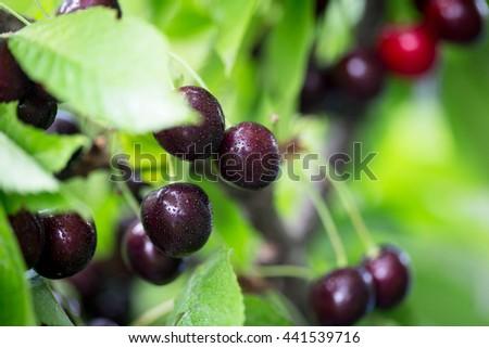 Berries cherries on a tree branch in the garden. fresh juicy ripe cherries - stock photo