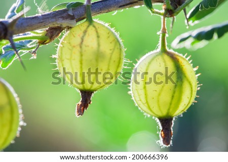 Berries green gooseberries on a branch closeup - stock photo