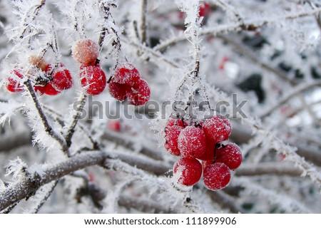 Berries in hoarfrost - stock photo