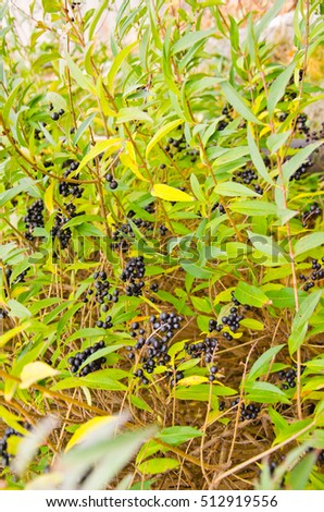 Berries of common privet (Ligustrum vulgare) on autumn