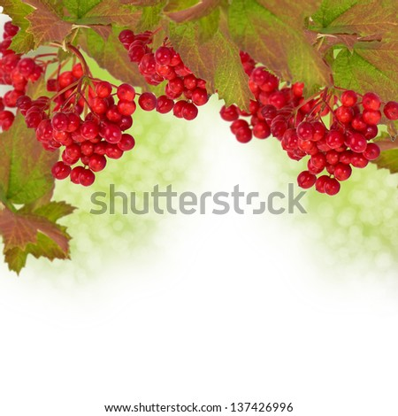 Berries of red viburnum , autumnal background - stock photo