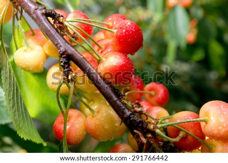 Berries sweet cherry with drops of rain on the branches of a tree - stock photo