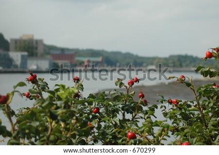 Berry Bush - stock photo