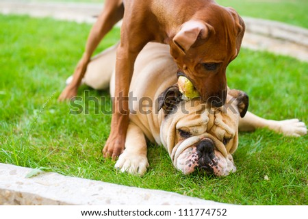 Best dog friends english bulldog and rhodesian ridgeback playing outdoors in the garden