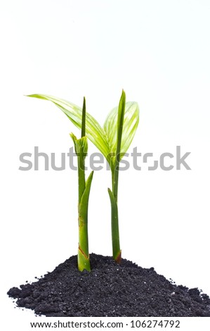 Betel palm on a white background.