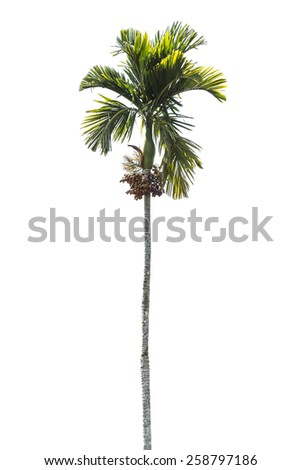 betel palm tree isolated on white - stock photo