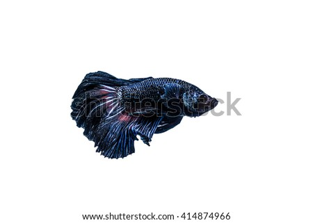 betta fish isolated on white