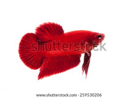 Betta fish on a white background. - stock photo