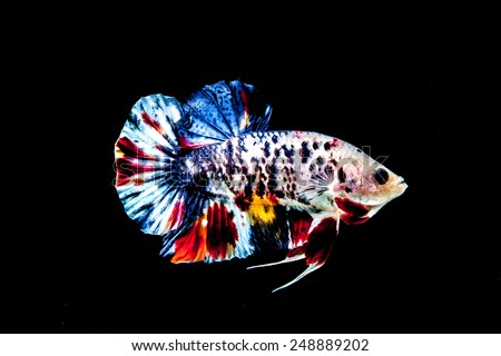 Betta fish on the black background. - stock photo