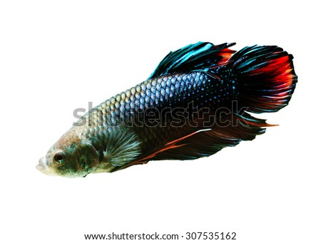 Betta fish, siamese fighting fish,betta isolated on white background. - stock photo
