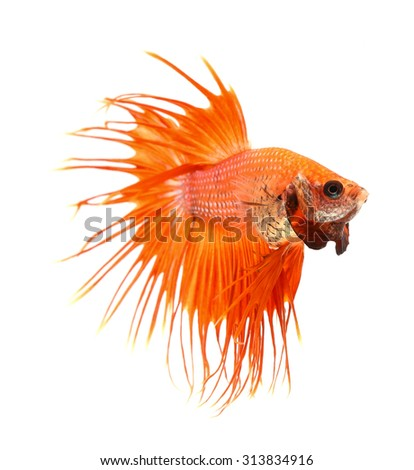 Betta fish, siamese fighting fish, betta splendens (Crown Tail) isolated on white background