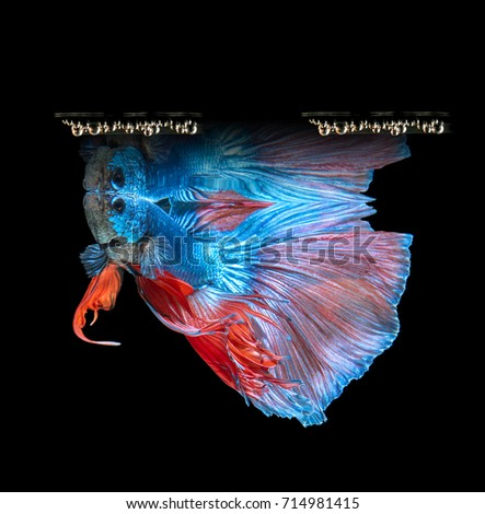 Betta Fish Siamese Fighting Fish Betta Stock Photo 714981415 ...
