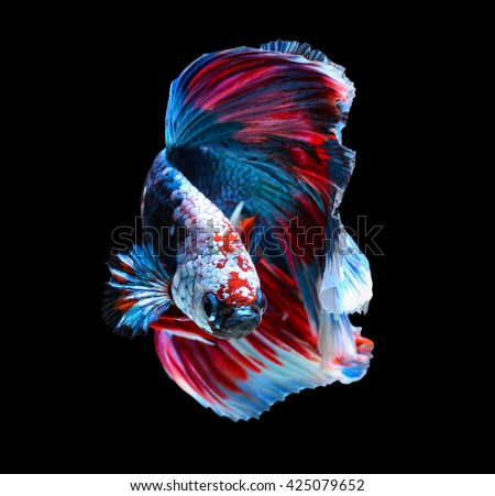 Betta stock images royalty free images vectors for Betta fish mirror
