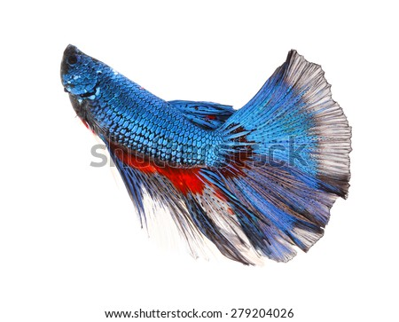 Betta fish, siamese fighting fish, betta splendens isolated on white background - stock photo
