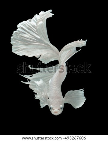 "Betta fish, siamese fighting fish ""half-breed between Half moon and Elephant ear fins"" isolated on black background beautiful movement macro photo"