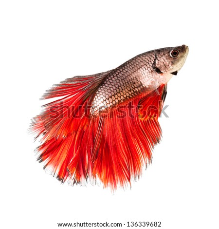 Betta Fish Siamese Fighting Fish Half Moon Red tail - stock photo