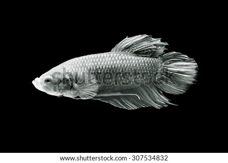 Betta fish, siamese fighting fish, isolated on black background.monochrome - stock photo