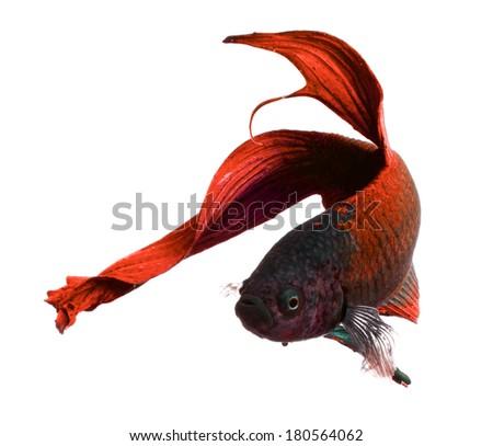 betta fish, siamese fighting fish isolated on white background - stock photo