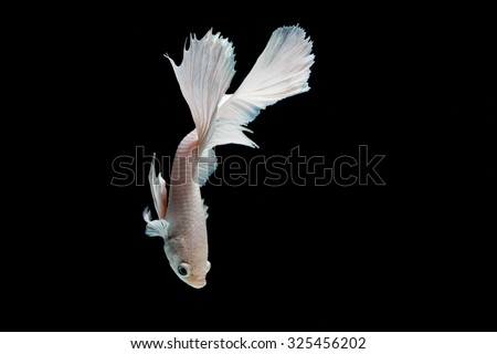 Betta fish white platinum (Half moon) or Siamese fighting fish on black background