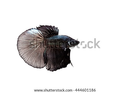Betta, Siamese Fighting Fish on white background