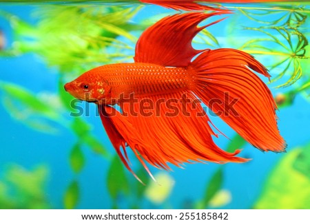 Betta splendens. The red male of fish floats in an aquarium - stock photo
