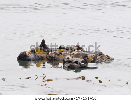 Bevy of Otters - stock photo