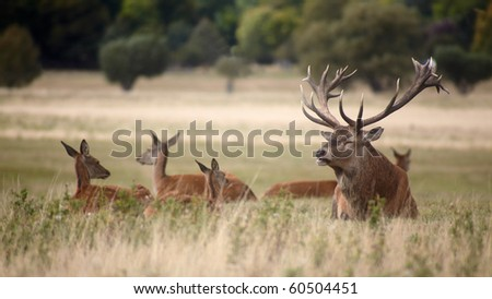 Bevy of royal deer in time of oestrus