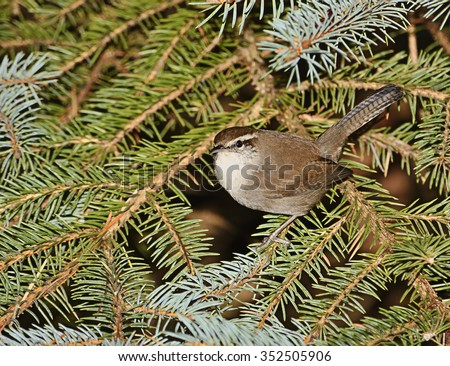 Bewick's wren (Thryomanes bewickii) perched on a garden evergreen tree in Seattle in late autumn.