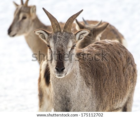 Bharal - sichuan blue sheep standing in a group - stock photo
