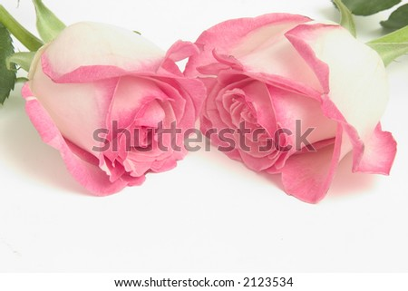 Bi color pink rose blossoms on white with copy space - stock photo