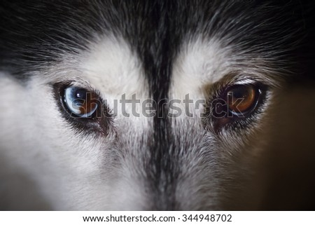Bi color siberian husky eyes