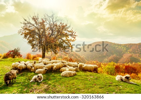 Bible scene. Sheep under the tree and dramatic sky in autumn landscape in the Romanian Carpathians - stock photo