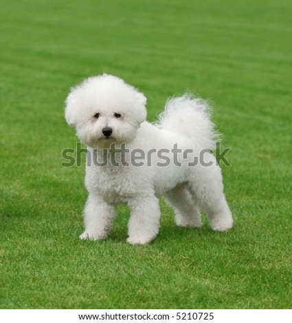 Bichon a poil Frise - stock photo