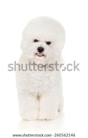 Bichon dog standing at white background - stock photo