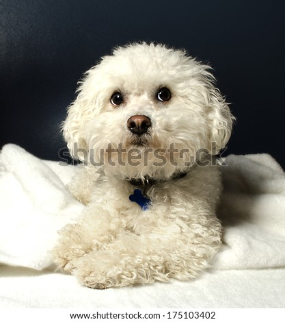 Bichon Frise - stock photo