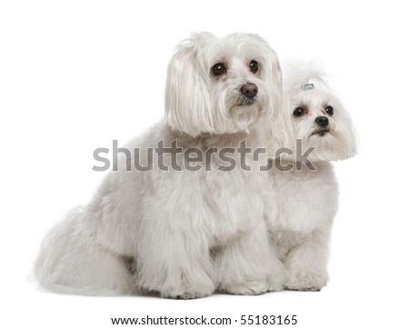 Bichon frise and a Maltese, 7 years and 3 years old, in front of white background