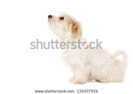 Bichon Frise cross puppy sat looking up isolated on a white background - stock photo