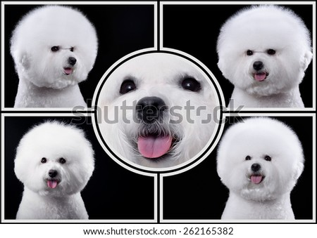Bichon Frise dog collage - stock photo