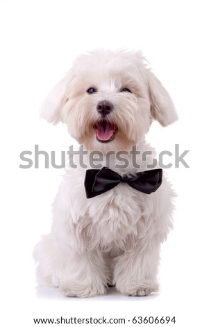 Bichon Frise looks handsome in his black bow tie against white background
